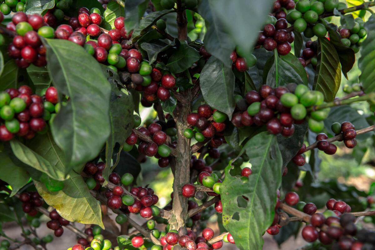 豆じゃない!?コーヒー豆の正体と栽培方法を紹介