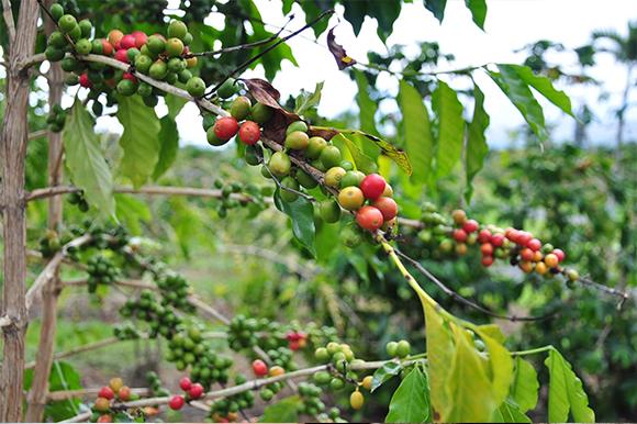 コーヒーはどうやって誕生した?2つの伝説とは